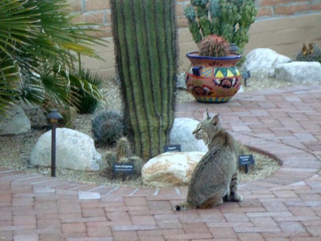 cactus cove botanical garden is visited by a bobcat