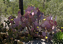 Tucson Bed and Breakfast - Cactus